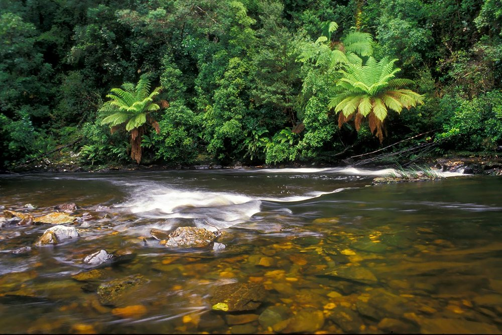rushing river and large ferns on the bank in cradle country