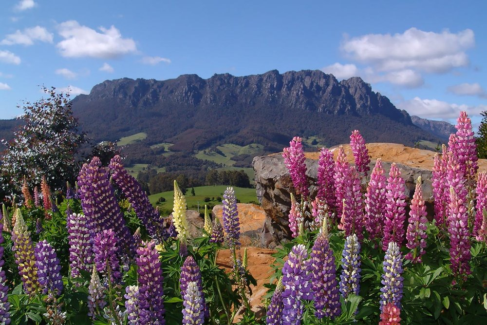 views of mount roland from the gardens with purple and pink flowers in foreground