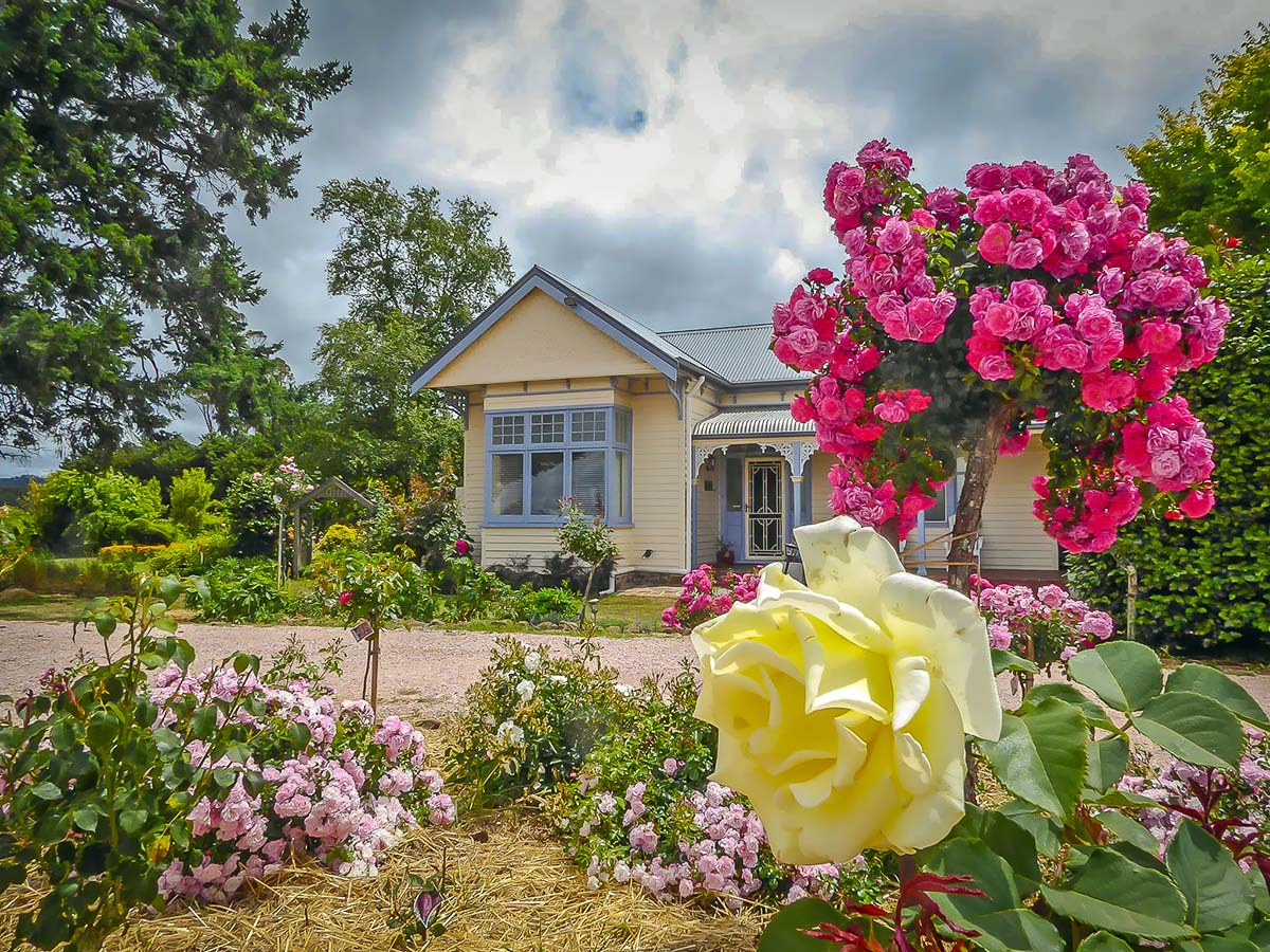 great hotels near cradle mountain - the guest house and rose garden in full bloom with large yellow rose in foreground