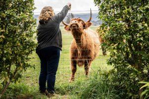 meet the owners - irene feeding highland cattle