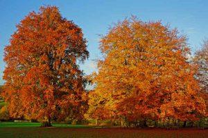 cradle mountain b&b - fagus tree in autumn
