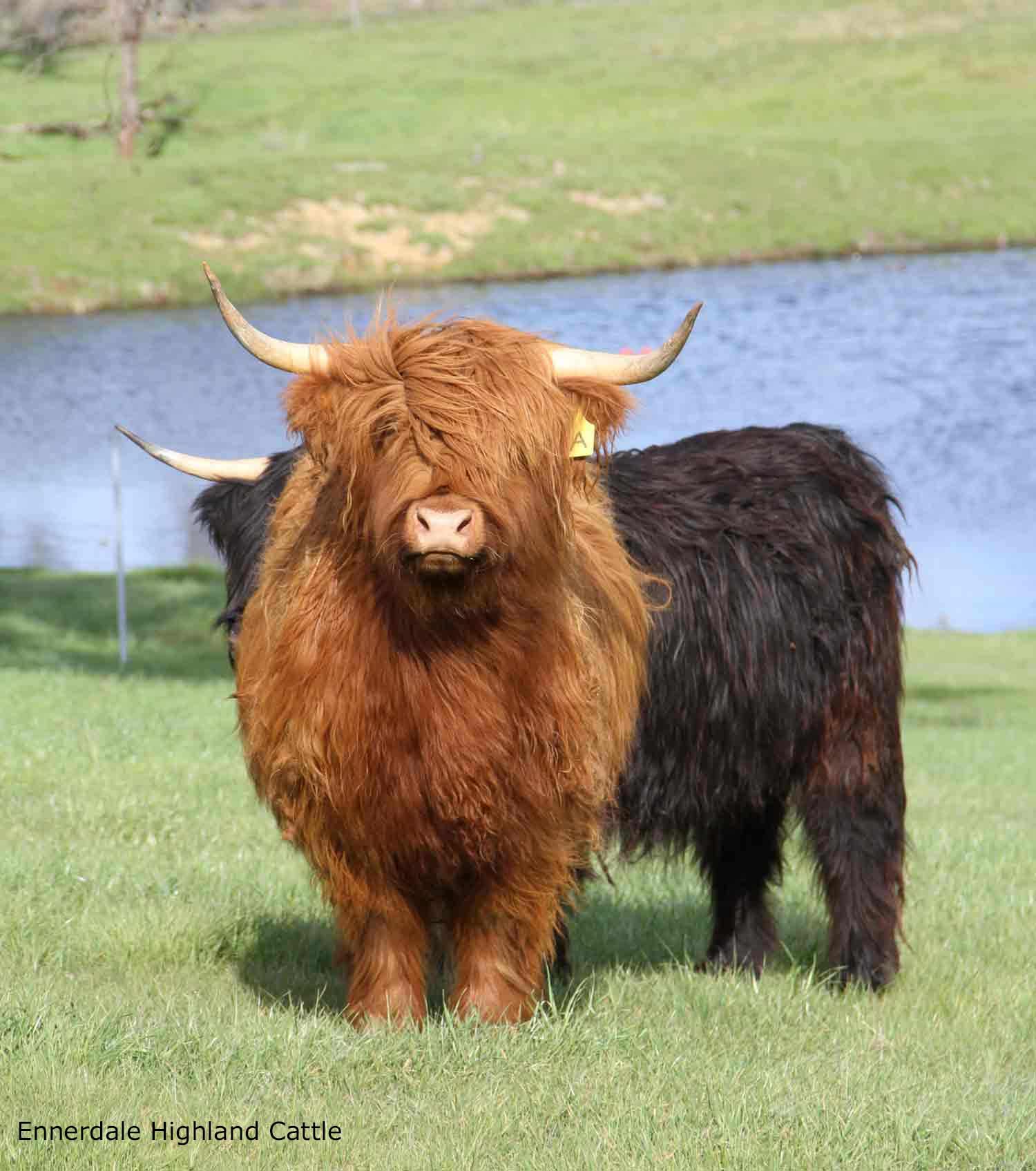 australian highland cattle - many varied colours