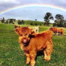 australian highland cattle - calf