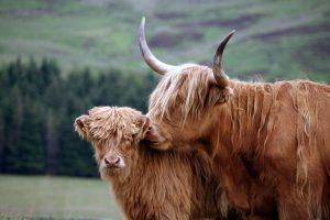australian highland cattle