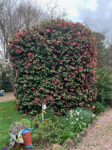 hedge of camellias